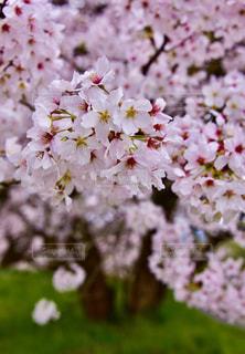 花,春,桜,木,花見,景色,鮮やか,お花見,イベント,桜の花,さくら,ブルーム,ブロッサム