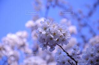 空,花,春,花見,鮮やか,満開,お花見,コントラスト,桜の花,さくら