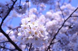 花,春,桜,花見,鮮やか,樹木,お花見,草木,桜の花,さくら
