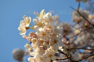 花,春,桜,花見,景色,鮮やか,お花見,草木,桜の花,さくら