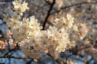 花,春,桜,木,花見,鮮やか,お花見,イベント,草木,桜の花,さくら