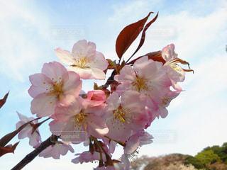 空,花,春,桜,花見,鮮やか,お花見,桜の木,さらくら