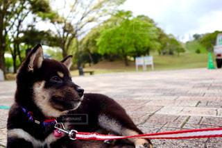 リードの上の小さな犬の写真・画像素材[2712868]