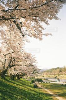 自然,空,春,桜,屋外,夕暮れ,花見,河原,草,樹木,人,人々,黄昏,フィルム,川沿い,たそがれ,桜の花,フィルム写真,さくら,フィルムフォト