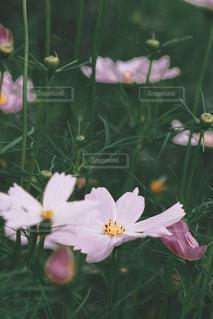 自然,花,コスモス,秋桜,フィルム,フィルム写真,フィルムフォト
