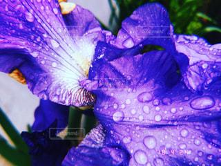 花,雨,水,紫,雫,フィルム,フィルム写真,フィルムフォト