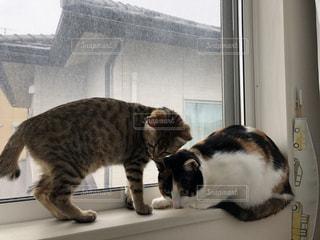 猫,動物,屋内,2匹,仲良し,ペット,子猫,癒し,三毛猫,キティ,ネコ