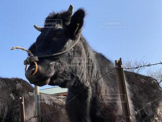 動物,屋外,牛,田舎,家畜