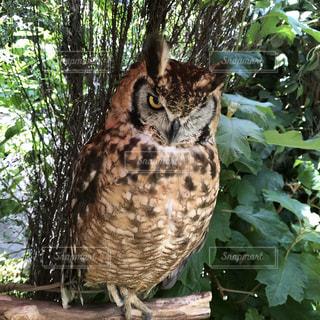 動物,森林,鳥,木,屋外,樹木,猛禽類,フクロウ