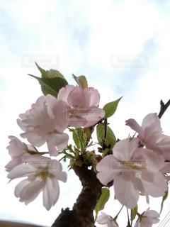 空,花,桜,満開,草木,開花,ブロッサム