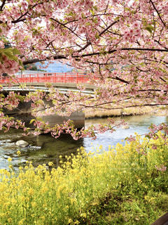 自然,花,春,桜,橋,屋外,ピンク,赤,黄色,川,水面,菜の花,水辺,花見,景色,草,樹木,イエロー,黄,桃色,草木,赤い橋,菜花