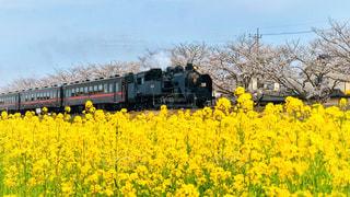 空,花,桜,花畑,屋外,黄色,菜の花,花見,景色,満開,樹木,イベント,機関車,鉄道,草木,車両,撮り鉄,汽笛