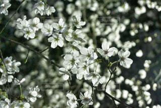 花,春,桜,木,花見,夜桜,満開,イベント,草木,チェリーブロッサム,空を見上げる,ブロッサム,フローラ