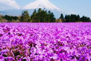 空,花,桜,富士山,木,屋外,ピンク,雲,晴れ,紫,花見,山,草,旅行,イベント,芝桜,草木,日中,フローラ