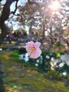 梅の写真・画像素材[3024402]