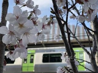 花,桜,電車,樹木,山手線,草木,さくら
