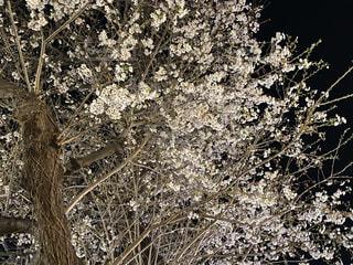 花,桜,屋外,夜桜,樹木