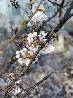 花,春,桜,屋外,枝
