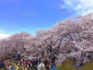 桜,花見,サクラ