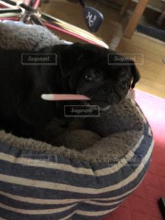 犬の写真・画像素材[2472576]