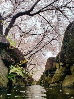 自然,風景,花,春,桜,木,水面,花見,桜並木,樹木,お花見,イベント,草木