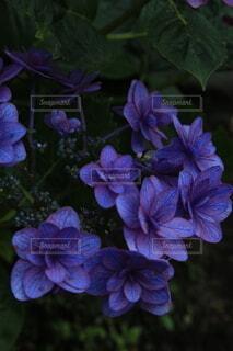 妖艶な紫陽花の写真・画像素材[4565301]