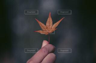 紅葉をもつ手の写真・画像素材[3798832]