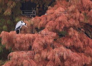 染まる葉とアオサギの写真・画像素材[2562784]