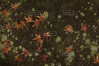 散っても咲く。の写真・画像素材[2562779]
