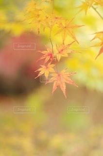 鮮やかな紅葉の写真・画像素材[2578333]