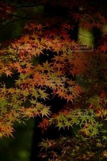 鮮やかな紅葉の写真・画像素材[2578504]