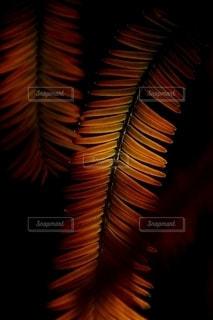 メタセコイヤの紅葉の写真・画像素材[2588397]