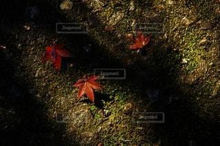 地面で咲くモミジの写真・画像素材[2588403]