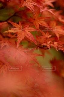 真っ赤なモミジの写真・画像素材[2588404]