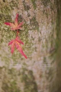 木に咲く紅葉の写真・画像素材[2588395]