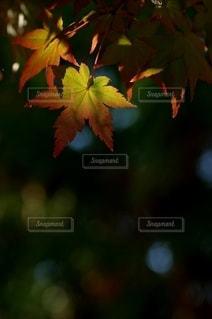 光が当たるモミジの写真・画像素材[2588396]