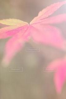 可愛いモミジの写真・画像素材[2588398]