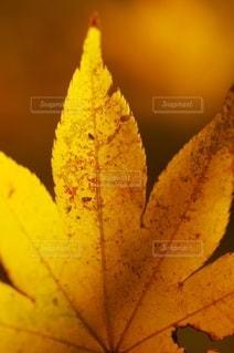 黄色のモミジをマクロ撮影の写真・画像素材[2588402]
