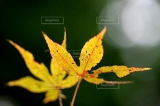 黄色に染まるの写真・画像素材[2588399]