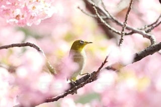 陽射しで桜がキラキラの写真・画像素材[2627266]