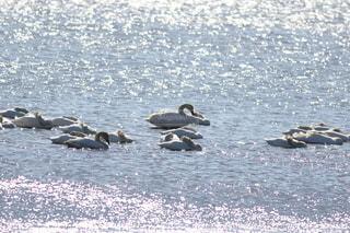 水面のキラキラと白鳥の写真・画像素材[2627826]