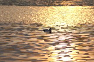 黄金色の海と水鳥の写真・画像素材[2627833]