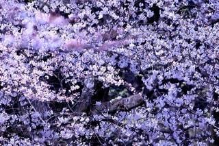 眩しい桜の写真・画像素材[2627865]