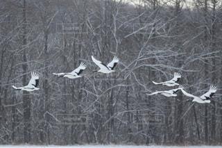 雪の中で森の上を飛んでいる丹頂鶴の写真・画像素材[2810166]