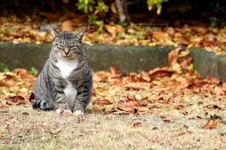猫,公園,動物,紅葉,屋外,草,落ち葉,ペット,人物,座る,可愛い,地面,見つめる,カメラ目線,ネコ