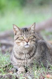 猫,公園,動物,屋外,草,ペット,人物,座る,グレー,カメラ目線,ネコ