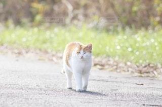 猫,動物,屋外,白,歩く,散歩,オレンジ,ねこ,ペット,人物,可愛い,地面,ネコ,日だまり