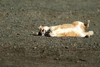 猫,動物,屋外,白,景色,オレンジ,寝転ぶ,ペット,人物,リラックス,可愛い,地面,ネコ,コロコロ,砂利道