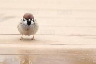 木道に立つスズメの写真・画像素材[2985149]