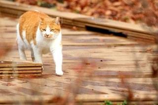 木道を歩く猫の写真・画像素材[2985150]